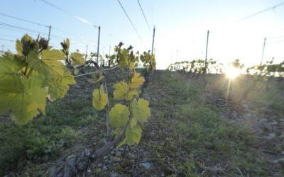 Juste avant que les premiers rayons de soleil se posent sur le vignoble, le risque de gel est très marqué. Particulièrement avec un ciel sans nuage et sans vent.